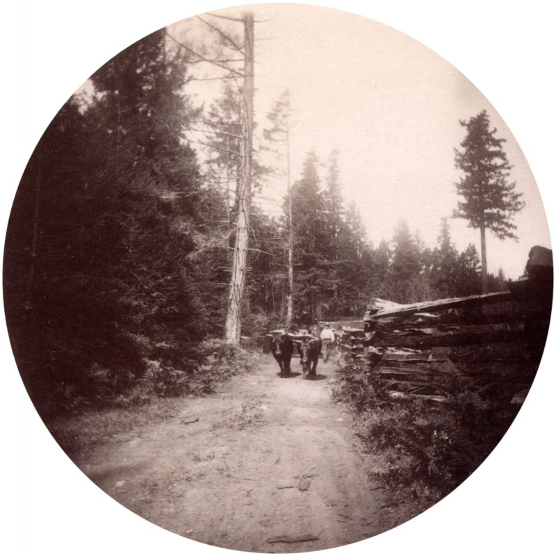 view-of-a-team-of-oxen-used-for-logging-in-the-west-end-1889
